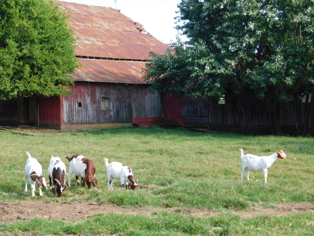 several goats in a pasture outside a barn