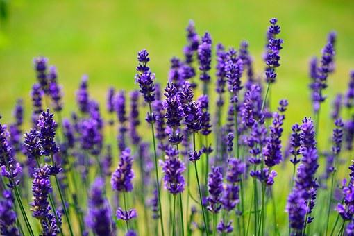 Image of lavendar