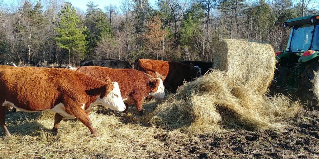 cows being fed hay