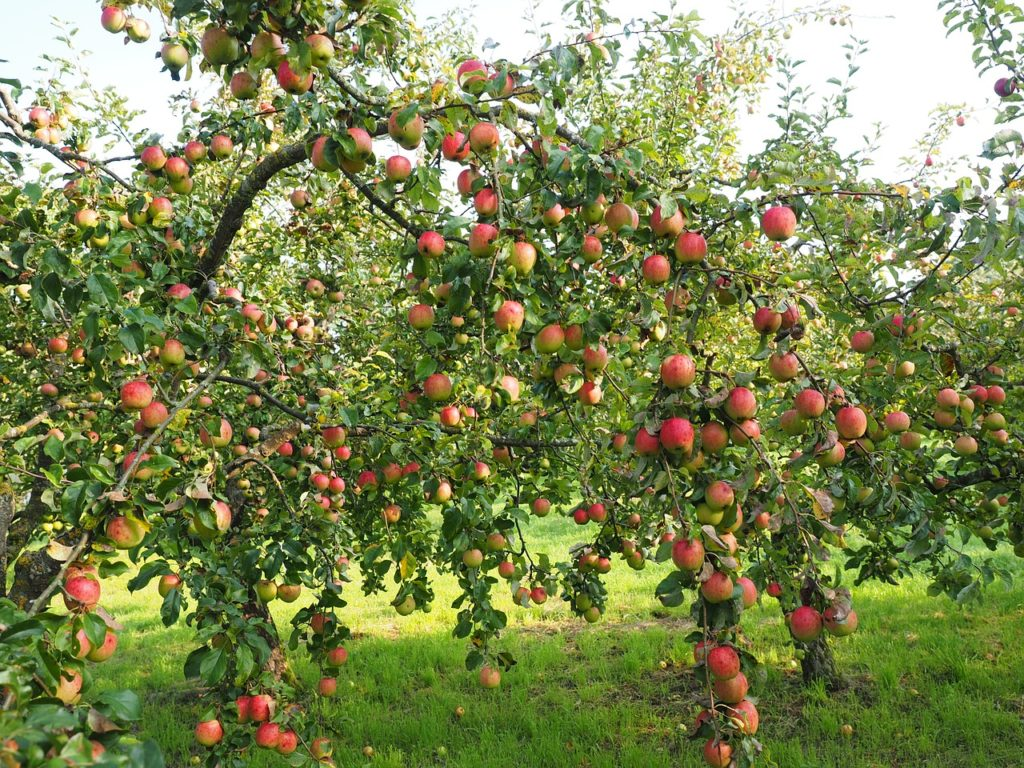 Image of an apple tree