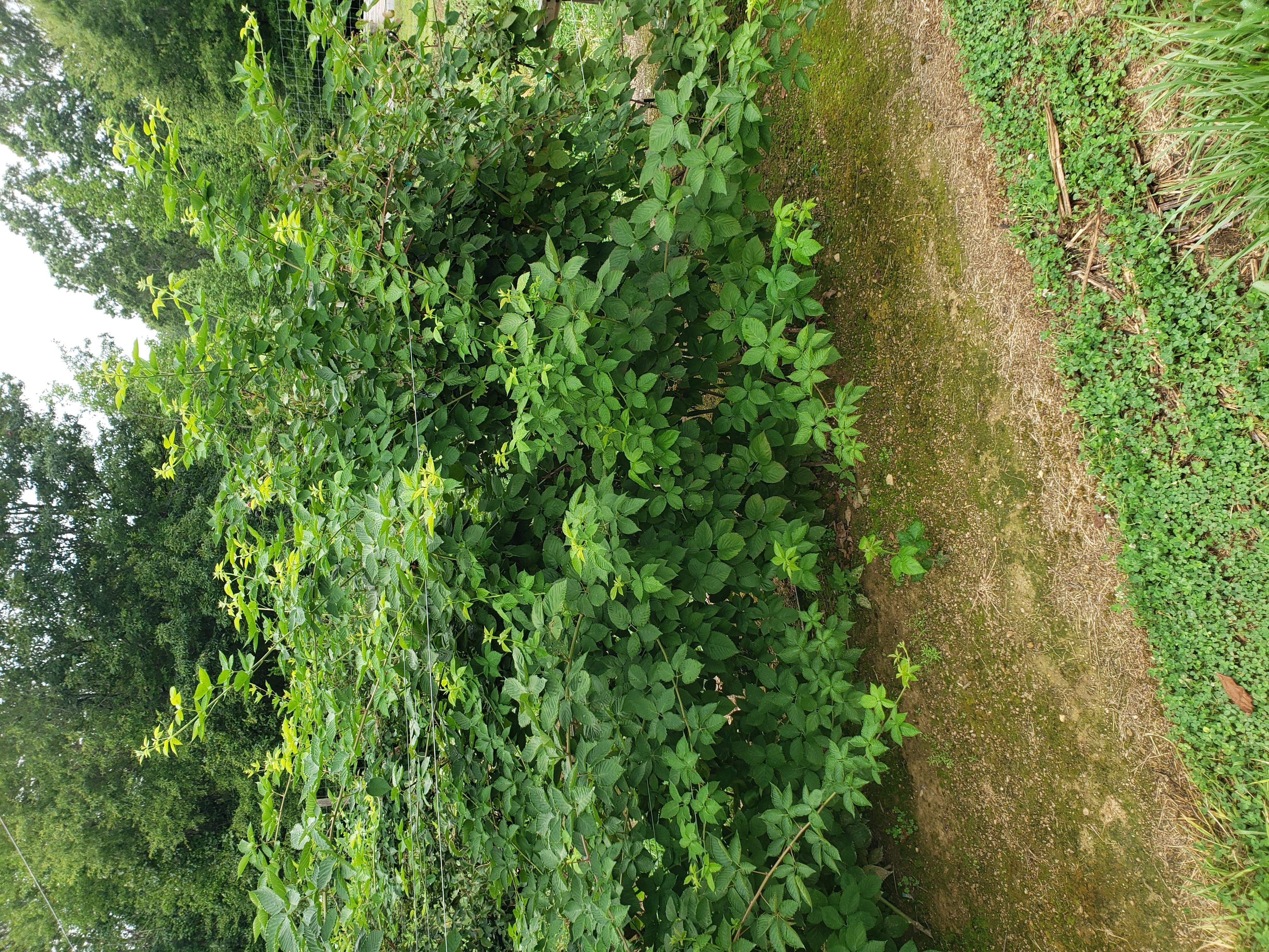 unpruned blackberry plants