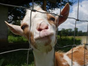 Cover photo for Livestock Program News & Upcoming Events 8.28.20