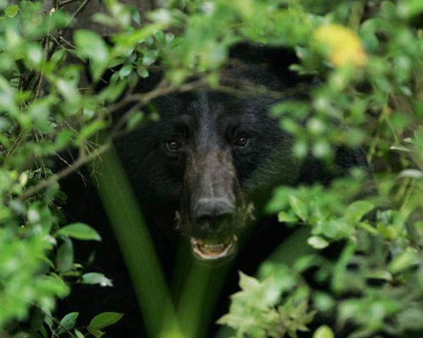 Black bear peeking through trees
