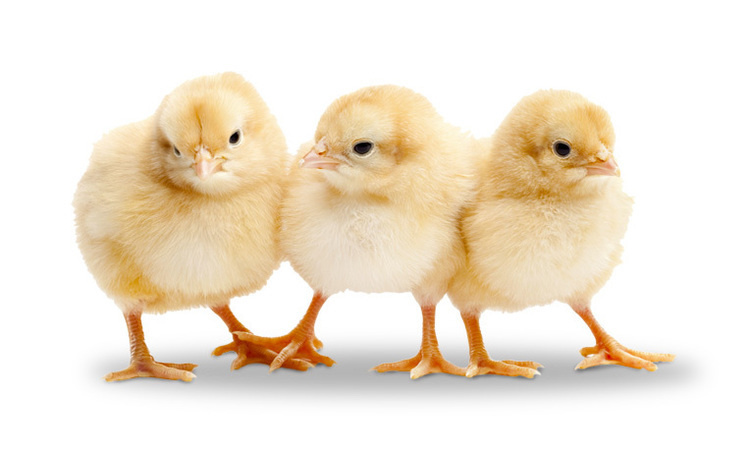 Three buff-color chicks