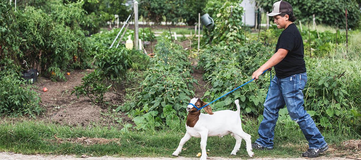 Person walking goat on leash along garden's edge