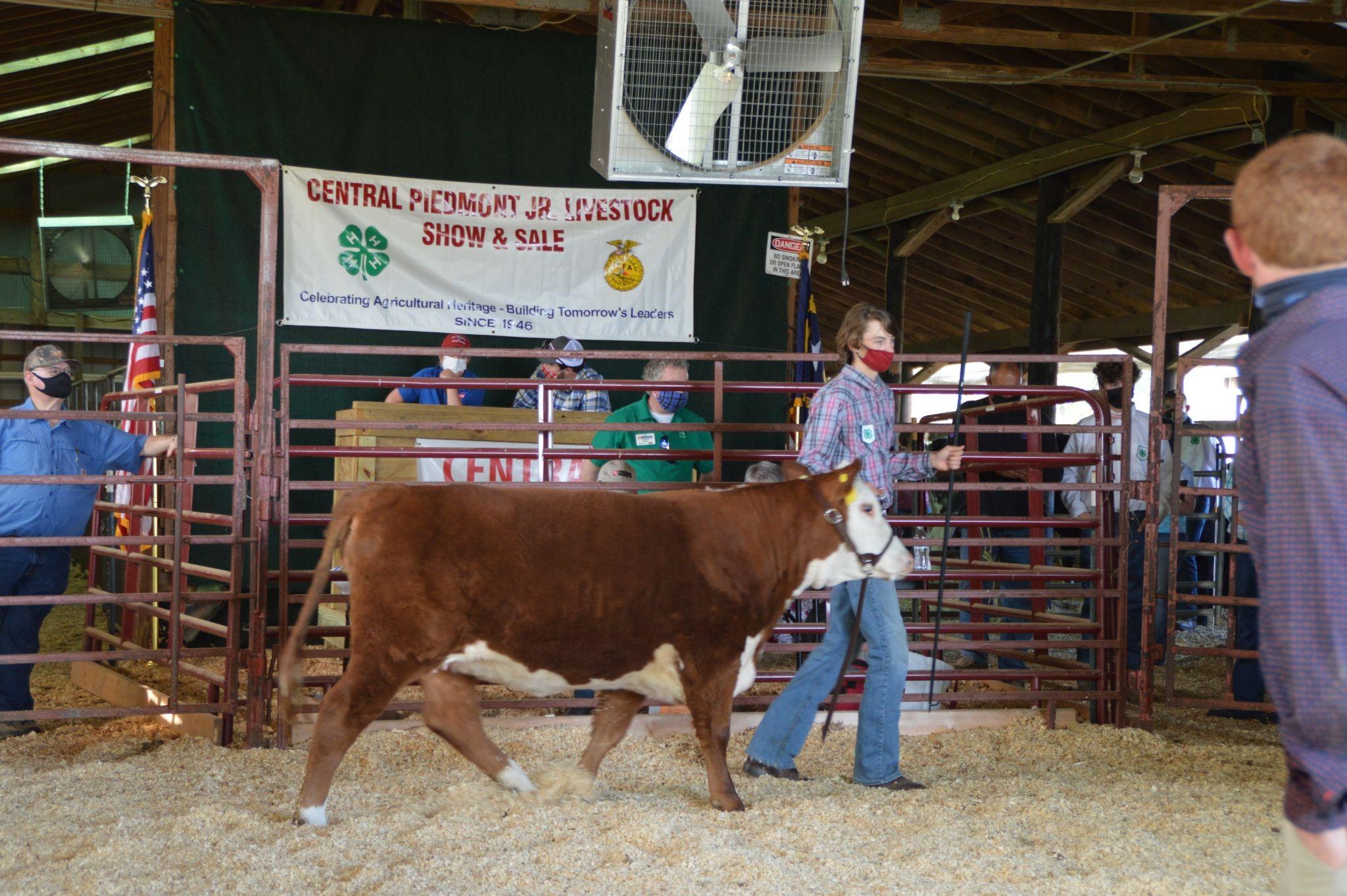 Boy Showing Heifer