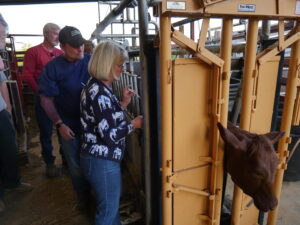 beef cattle training