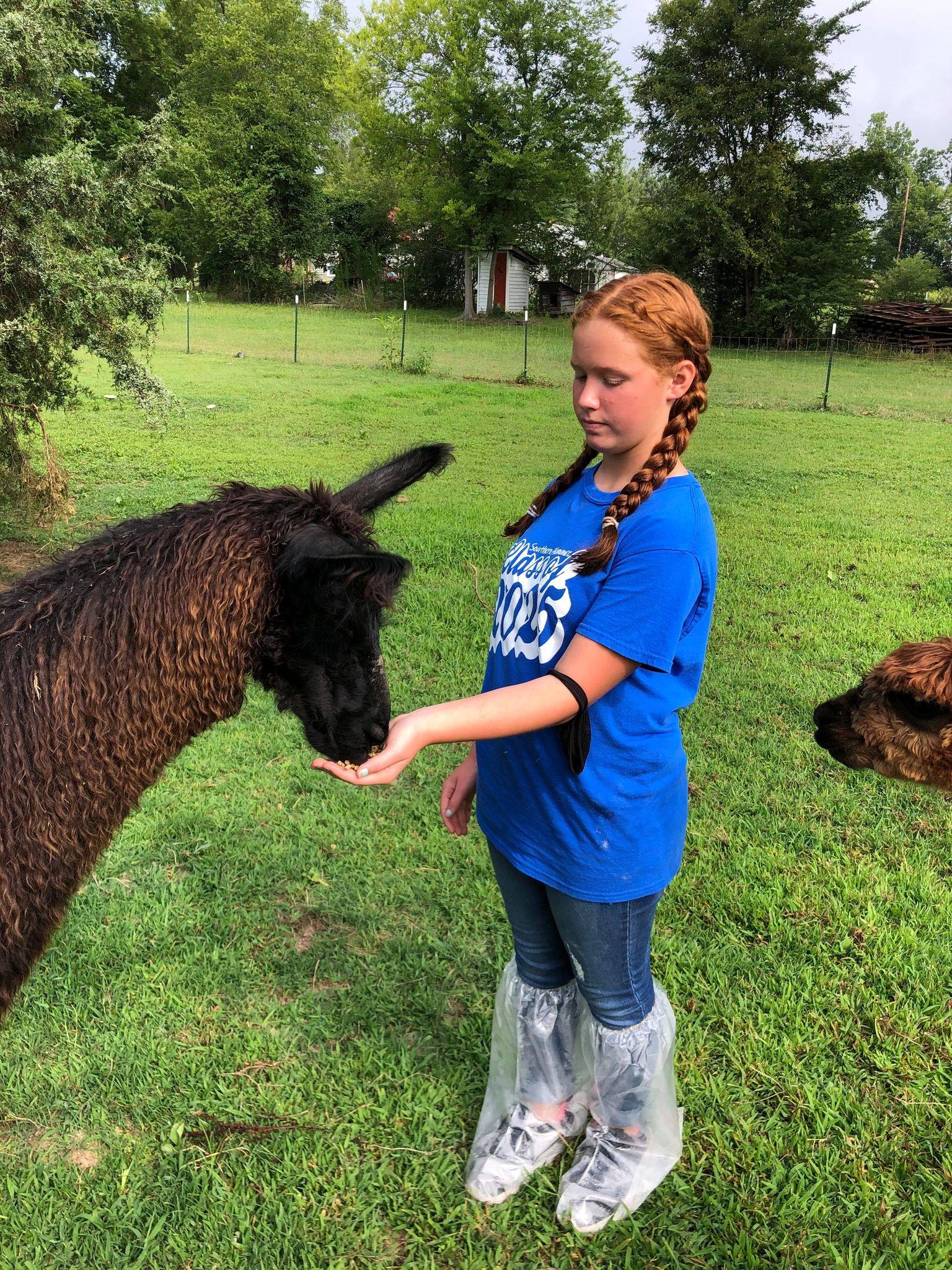 Girl feed an alpaca