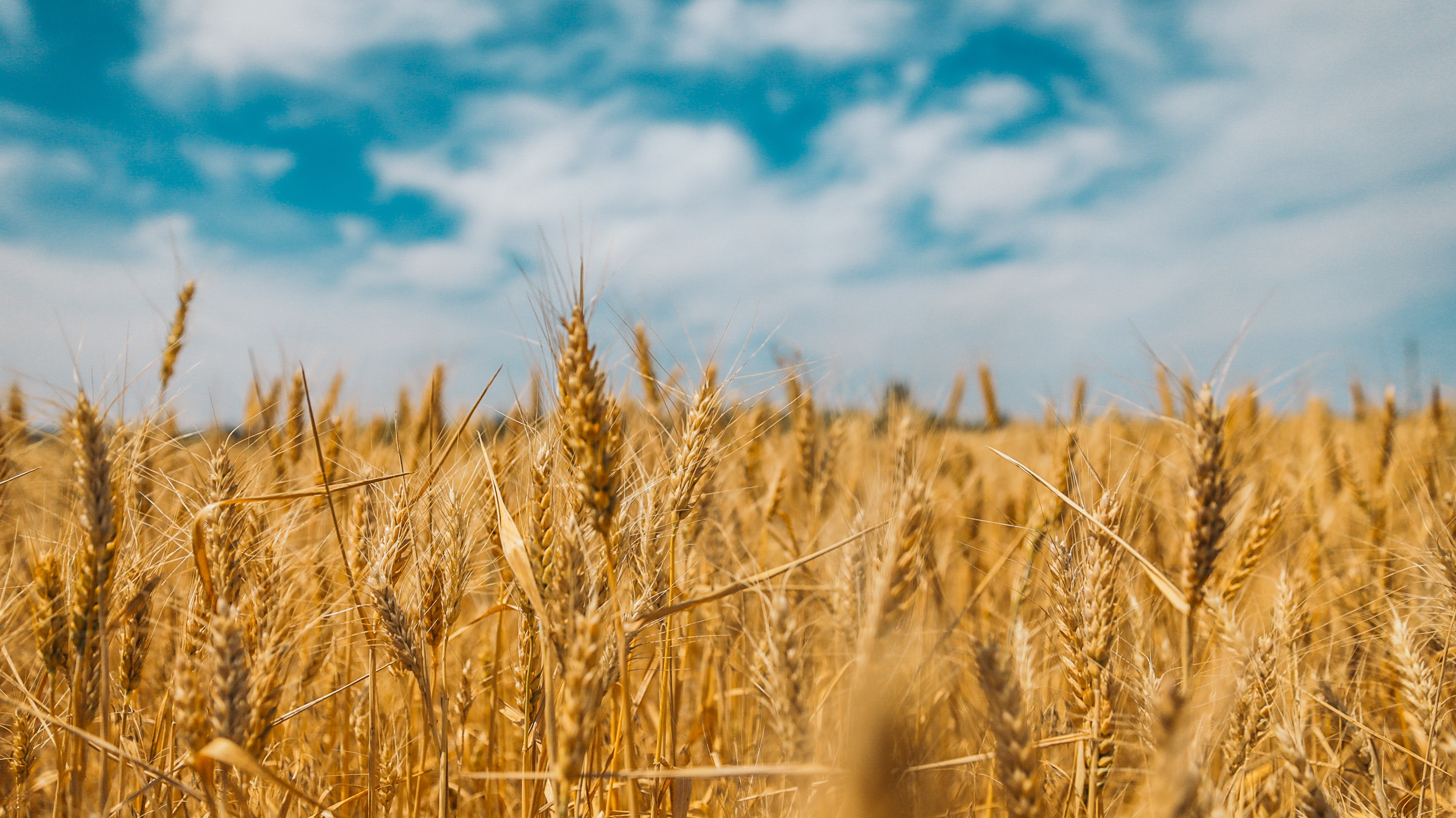 wheat stalks in a field with blue skies overhead